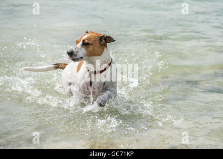 Danish-Swedish Farmdog playing fetch. - Stock Photo