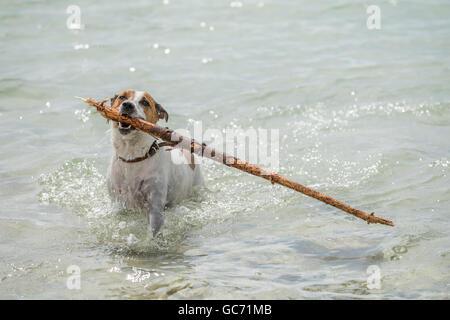 Danish-Swedish Farmdog playing fetch. - Stock Photo