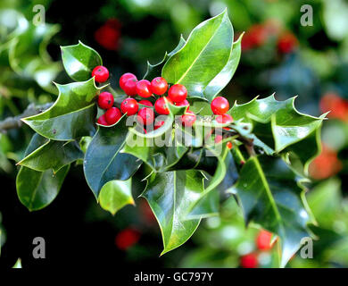 Customs and Traditions - Christmas - Holly - Bradgate Tree Farm, Leicestershire - Stock Photo