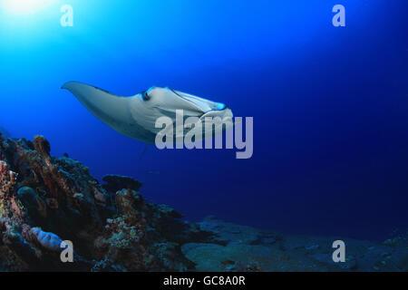 Giant manta ray (Manta birostris) floating underwater in the tropical ocean - Stock Photo