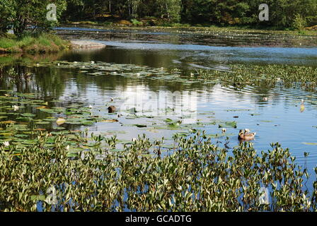 Large pond with water lilies - Stock Photo