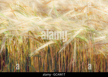 Barley rippening in fields, Northamptonshire. - Stock Photo