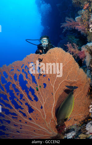 Red Sea, Egypt. 3rd Mar, 2016. Female scuba diver with a soft coral - gorgonian seafan (Gorgonia flabellum), Red - Stock Photo