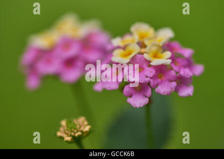Lantana camara wild white-red-big-sage tickberry flowers close up - Stock Photo