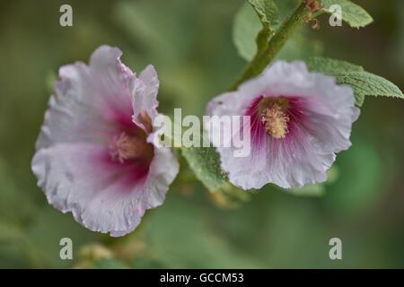 Common hollyhock pink flowers close up Alcea rosea - Stock Photo