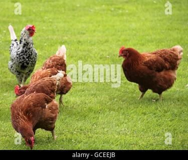 What the cluck! - Stock Photo
