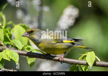 European greenfinch (Carduelis chloris) on branch, male, Baden-Württemberg, Germany - Stock Photo
