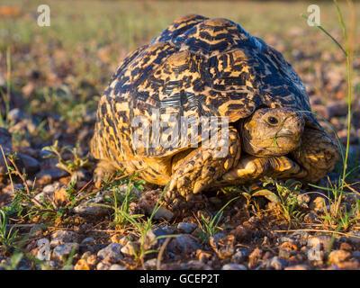 Leopard Tortoise (Geochelone pardalis), Ongaya Game Reserve, Outja, Namibia - Stock Photo