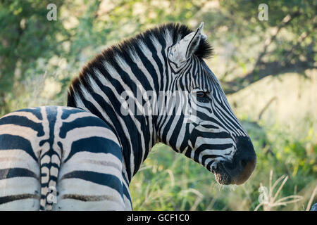 Close up of Burchell's zebra (Equus quagga burchellii) turning to camera; Botswana - Stock Photo