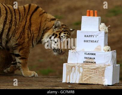 Amur tigers celebrate first birthday - Stock Photo