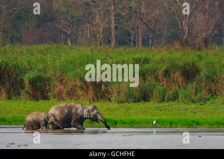 Mother and Baby elephant cooling off in the water : image taken in Kaziranga National Park India) - Stock Photo