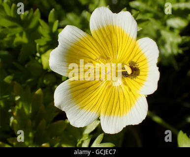 Varied carpet beetle (Anthrenus verbasci) under the anther of a poached egg plant (Limnanthes douglasii) flower - Stock Photo