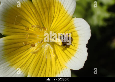 Close-up of varied carpet beetle (Anthrenus verbasci) under the anther of a poached egg plant (Limnanthes douglasii) - Stock Photo