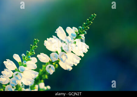 Physostegia virginiana flowers - Stock Photo