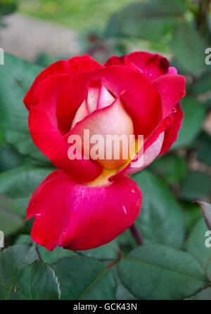 Single red rose with white center blossoming with blurred green leaf background. - Stock Photo
