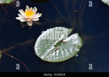 White and yellow water lily with green lily pad floating on the surface of pond water in garden area in Western Australia.