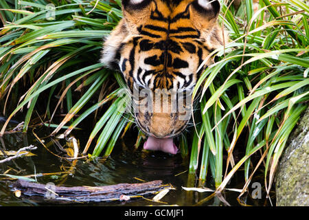 Huge Indian Tiger Drinking Water closeup portrait - Stock Photo