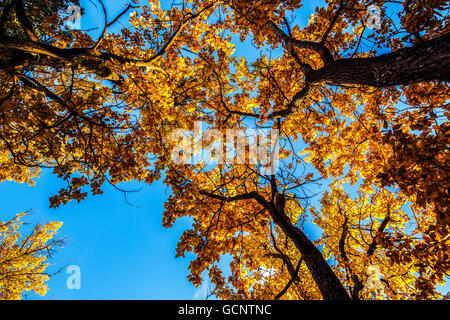 Fall landscape of Cottonwood trees in full Autumn color in Arctic Valley area of Anchorage, Southcentral Alaska - Stock Photo
