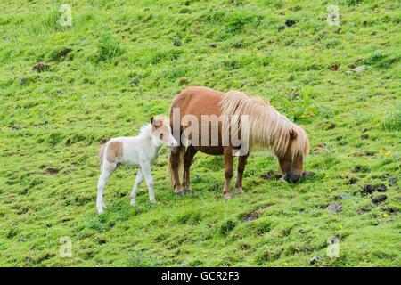 Dartmoor pony and her foal - Stock Photo