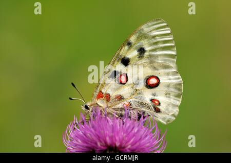 Apollo (Parnassius apollo), Zernez, Lower Engadin, Graubünden, Switzerland - Stock Photo