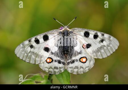 Apollo (Parnassius apollo), Zernez, Lower Engadine, Graubünden, Switzerland - Stock Photo