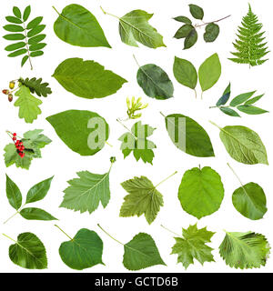 set of varuious green leaves isolated on white - fragaria, malus, morus, blackberry, mulberry, redcurrant, viburnum, - Stock Photo