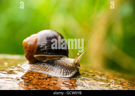 Big snail crawling on a stony surface. - Stock Photo
