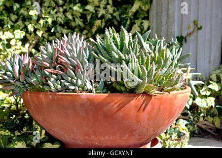 potted succulent plants in full sun stock photo, royalty free, Beautiful flower