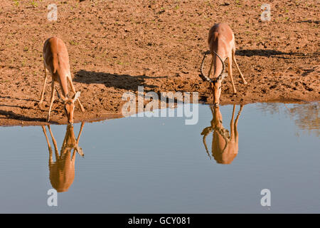 Two impalas (Aepyceros melampus) drinking at a waterhole, Kruger National Park, South Africa - Stock Photo