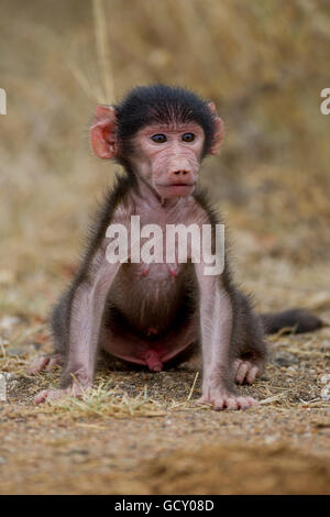 Chacma baboon, or Cape baboon (Papio ursinus), young, in the bush, Kruger National Park, South Africa - Stock Photo
