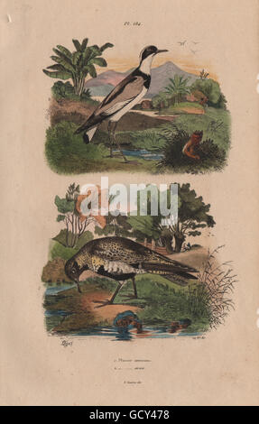 PLOVERS: Pluvier Commun (Common Plover). Pluvier armé (Ringed Plover), 1833 - Stock Photo
