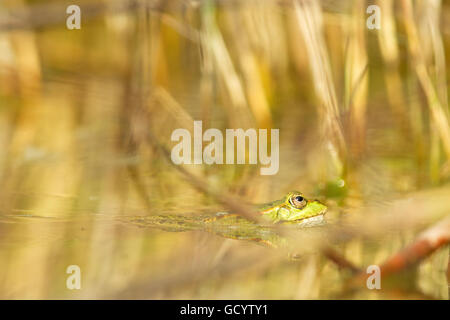 Edible frog (Pelophylax kl. esculentus) in a pond in Frankfurt, Germany. - Stock Photo