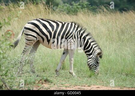 A zebra grazing in the luscious grasslands of the Pilanesberg National Park - Stock Photo