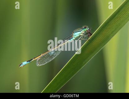common ischnura, blue-tailed damselfly, Ischnura elegans, with fly - Stock Photo