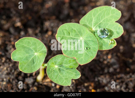 Seedlings of Nasturtium,  Tropaeolum, with water drops on the leaves - Stock Photo