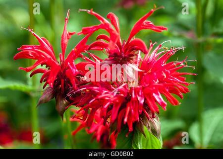 Monarda 'Gardenview Scarlet', bee balm, horsemint, oswego tea or bergamot - Stock Photo