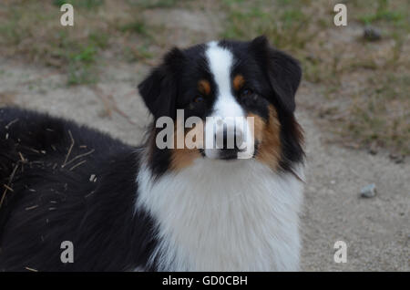 Gorgeous candid of a tri-color Australian Shepherd puppy dog. - Stock Photo