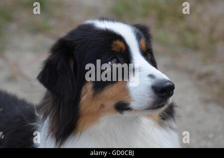 Gorgeous profile of an Australian Shepherd dog's face. - Stock Photo