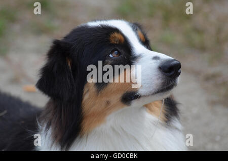 Gorgeous Aussie from a side view with a really cute face. - Stock Photo