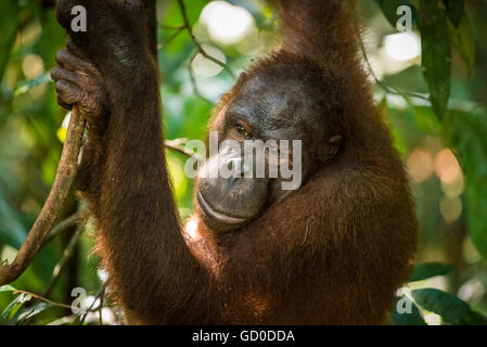 An adult female orangutan swings among the trees at a wildlife sanctuary in Malaysian Borneo. - Stock Photo