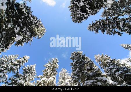 Common spruce ( Picea abies ) with snow, Austria, Steiermark, Styria, Murtal - Stock Photo