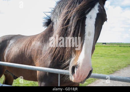 A beautiful brown horse with a white flash in a grazing pasture - Stock Photo