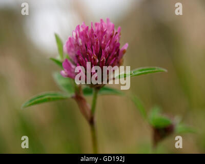 Red Clover - Trifolium pratense, UK - Stock Photo