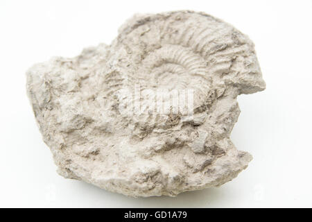macro photo of fossil of ammonite isolated over white - Stock Photo