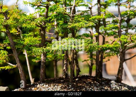 Bonsai trees, Acer palmatum, Japanese maple, Japanese maple - Stock Photo