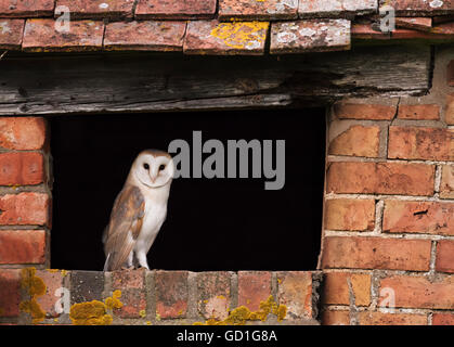 A wild recently fledged barn owl at entrance to nest site, Warwickshire - Stock Photo
