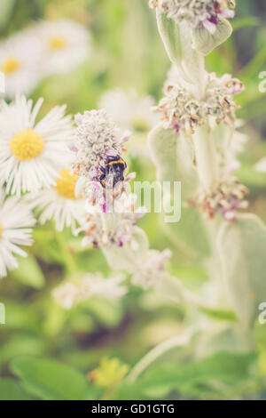 Bumblebee collecting pollen in my garden. Caught this beautiful creature being outside at the weekend. Vintage/retro - Stock Photo