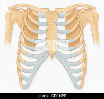 Normal anterior view of the rib cage and shoulder joint - Stock Photo