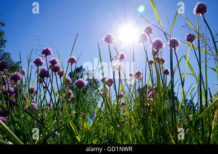 Early summer - sun shining brightly through thick bush of growing chives, warming insets and life in the grass - Stock Photo