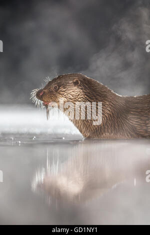 European Otter (Lutra lutra) feeding on a freshly caught fish in an icy marsh at night - Stock Photo